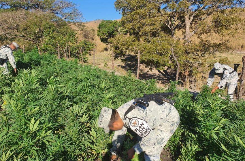 En poblados de Oaxaca, Guardia Nacional destruye tres plantíos de Marihuana